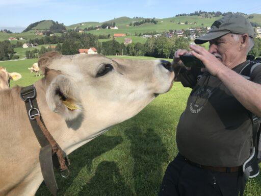 Anhängliche Kühe