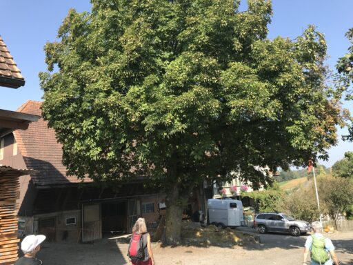 Schöner Eselkastanienbaum bei Baggwil